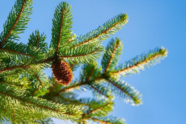 Uma pinha natural crescendo ramos espinhosos em tempo ensolarado. foco em primeiro plano