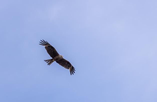 Uma pipa negra milvus migrans voa em um céu azul claro. antecedentes da natureza. pássaro.