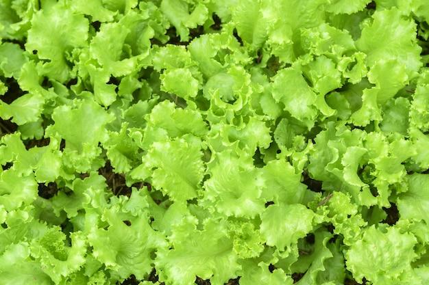 Uma planta cultivada da família das margaridas, com folhas comestíveis que são um ingrediente comum das saladas.