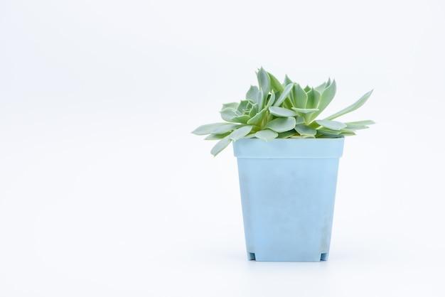 Uma planta suculenta em vasos
