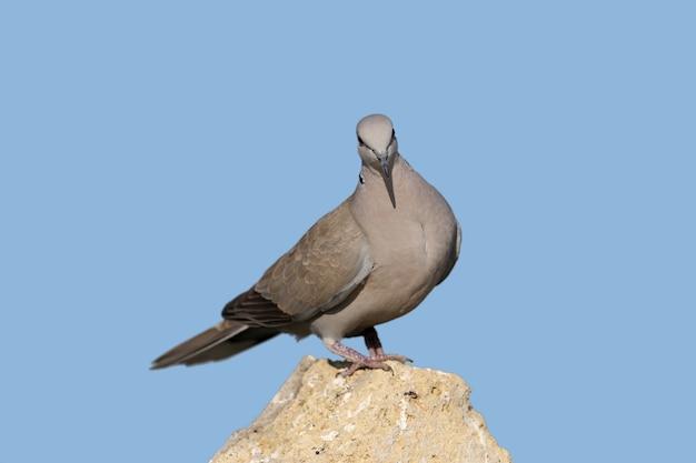 Uma pomba de colarinho macho está sobre uma pedra