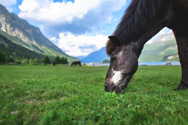 Uma ponta de cavalo preto no gramado nas altas montanhas