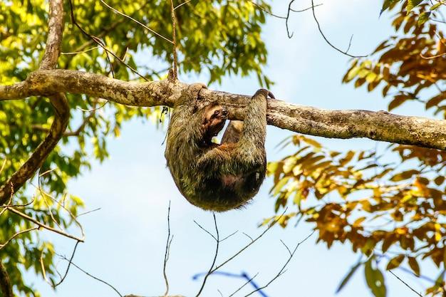 Uma preguiça em uma árvore no parque nacional manuel antonio. costa rica