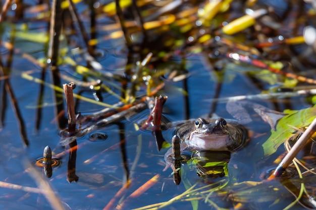 Uma rã comum encontra-se na água em uma lagoa durante o acasalamento na primavera.