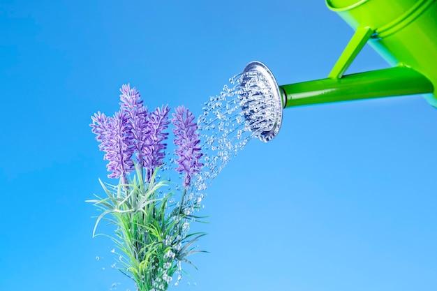 Uma rega de flores de lavanda. conceito do dia mundial da água.