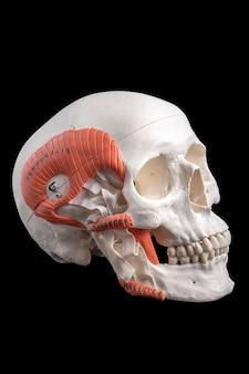 Uma réplica de um crânio humano, guia de estudo médico em preto.
