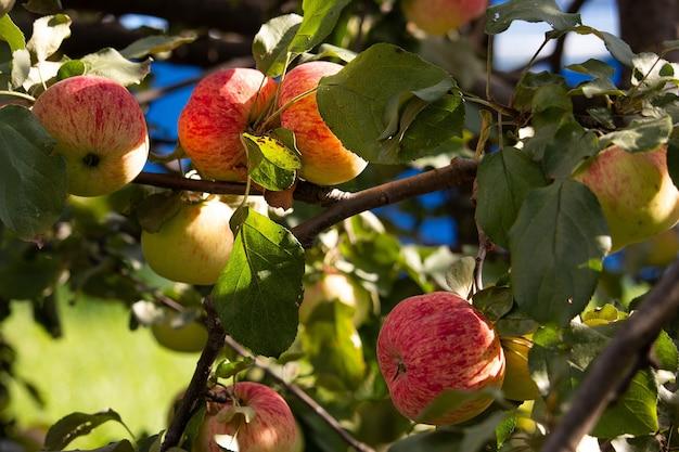 Uma rica colheita de maçãs suculentas maduras em um galho. feche a foto. frutas saudáveis da fazenda na temporada de colheita da maçã