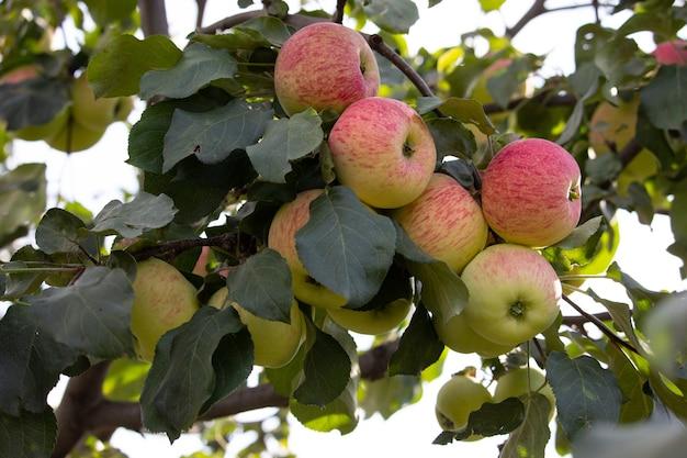 Uma rica colheita de maçãs suculentas maduras em um galho. frutas saudáveis da fazenda na temporada de colheita da maçã