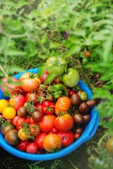 Uma rica colheita de várias variedades de tomate