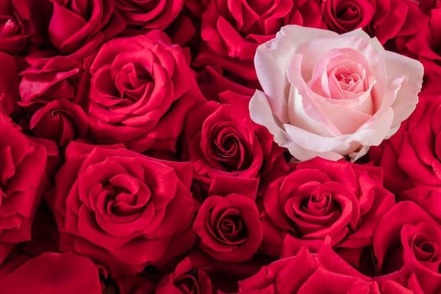 Uma rosa suave em um grande buquê de rosas vermelhas brilhantes.