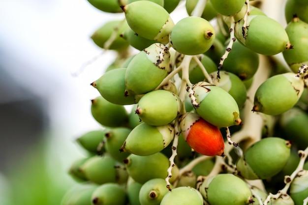 Uma semente vermelha e nova semente de palmeira verde na árvore
