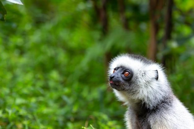 Uma sifaka com diadema em seu ambiente natural na floresta tropical da ilha de madagascar