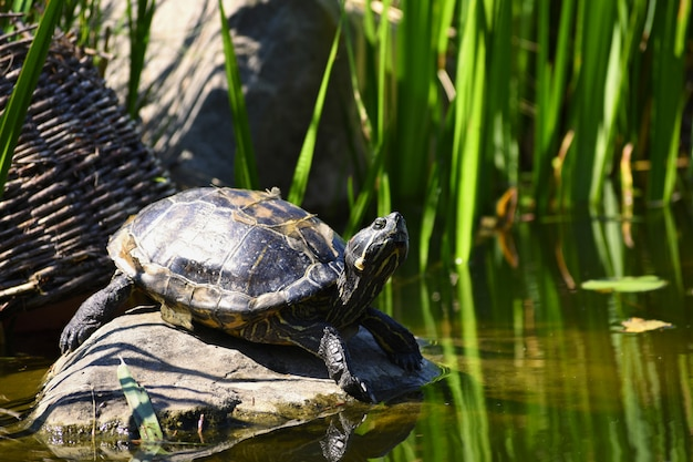 Uma tartaruga bonita em uma pedra selvagem na natureza pela lagoa. (trachemys scripta elegans)