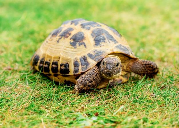 Uma tartaruga na grama de dia