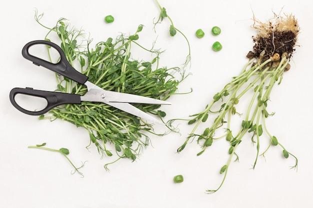Uma tesoura repousa sobre os brotos de ervilha verdes cortados. a ervilha brota com raízes e solo. fundo branco. postura plana.