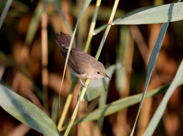 Uma toutinegra adulta (acrocephalus scirpaceus) é fotografada de perto em seu habitat natural. detalhe e luz suave da manhã identificam o pássaro