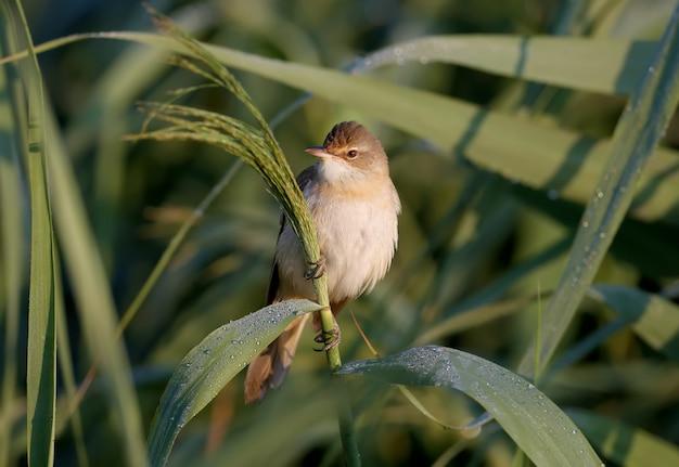 Uma toutinegra solitária (acrocephalus arundinaceus) fotografada de perto em seu habitat natural