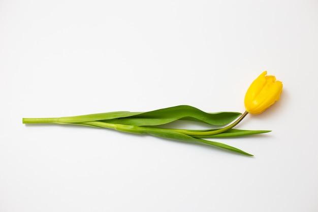 Uma tulipa amarela encontra-se em um branco