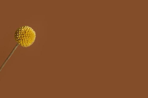 Uma única flor craspedia amarela sobre fundo marrom com espaço de cópia. a craspedia está na família das margaridas, comumente conhecida como botões de billy, lanosos e também bolas ensolaradas.