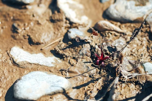 Uma única flor de papoula vermelha crescendo entre pedras sujas no rio