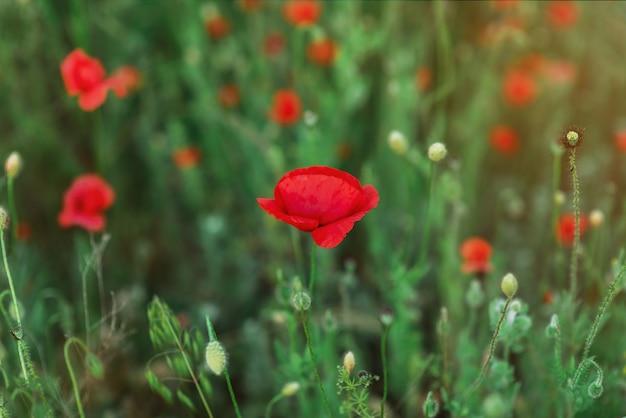 Uma única flor do campo, papoula vermelha em um campo verde. botão suave e fechado de linda flor de papoula da primavera. foco suave. uma flor na zona de nitidez. lugar para texto. copyspace