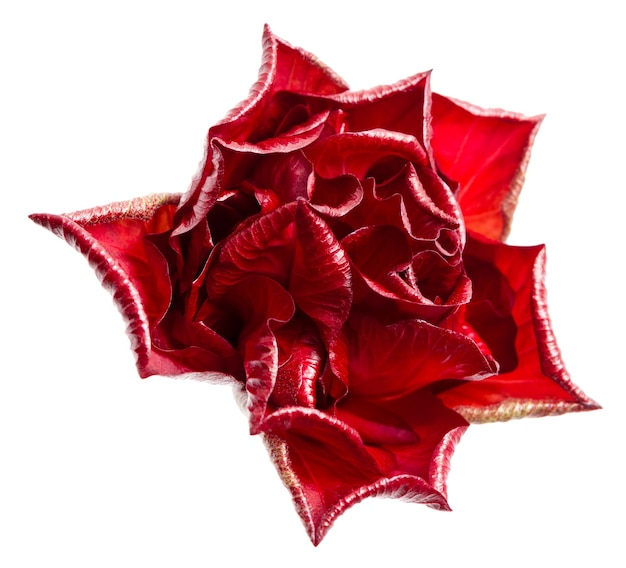 Uma única rosa vermelha isolada no fundo branco