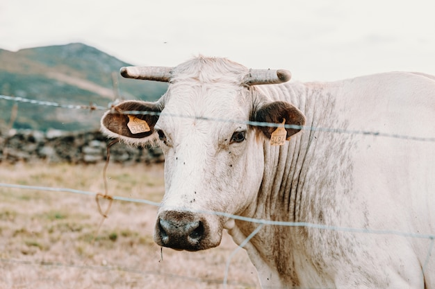 Uma vaca gigante branca com chifres gigantes na fazenda olhando direto para a câmera