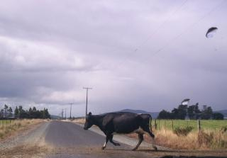 Uma vaca holandesa ...