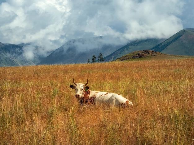 Uma vaca manchada de vermelho encontra-se na grama alta de outono no contexto das montanhas e olha para a câmera.