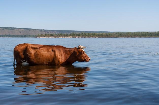 Uma vaca marrom está parada no rio volga e fresca em um dia quente de verão.