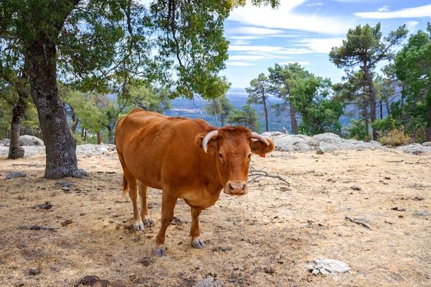 Uma vaca pasta calmamente em uma montanha no final do verão.