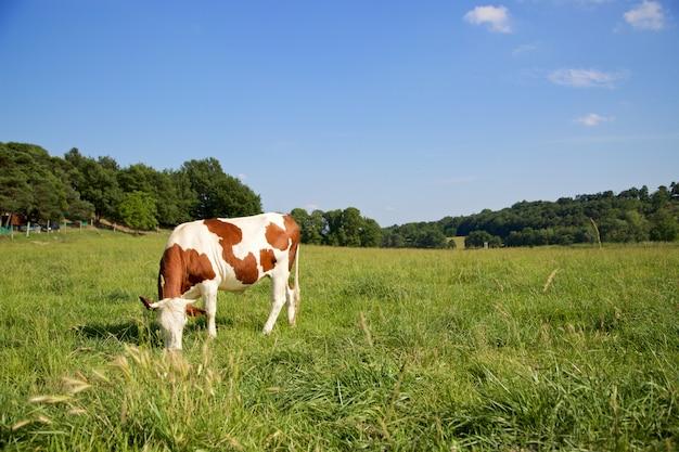 Uma vaca pastando
