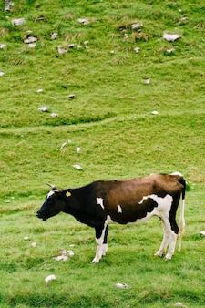 Uma vaca pintada de preto e branco pastando nas colinas verdes do prado