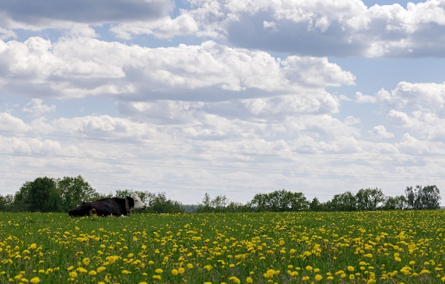 Uma vaca preta e branca repousa sobre um campo verde com dentes-de-leão sob um céu nublado. natureza.