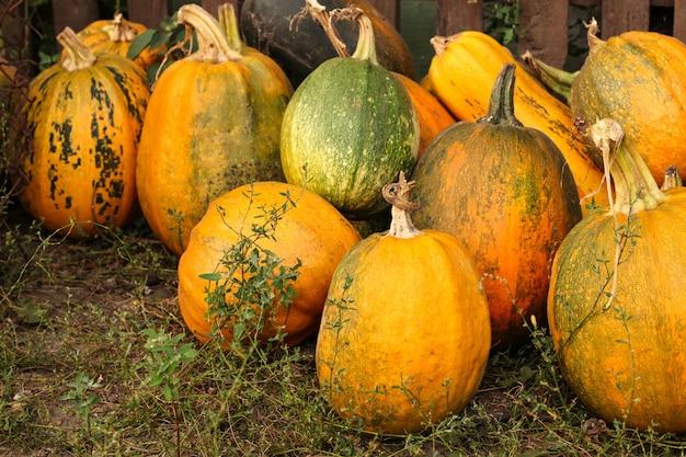 Uma variedade de abóboras maduras estão localizadas na grama, colheita de outono, orientação horizontal, close up