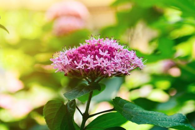 Uma variedade de hortênsias de jardim