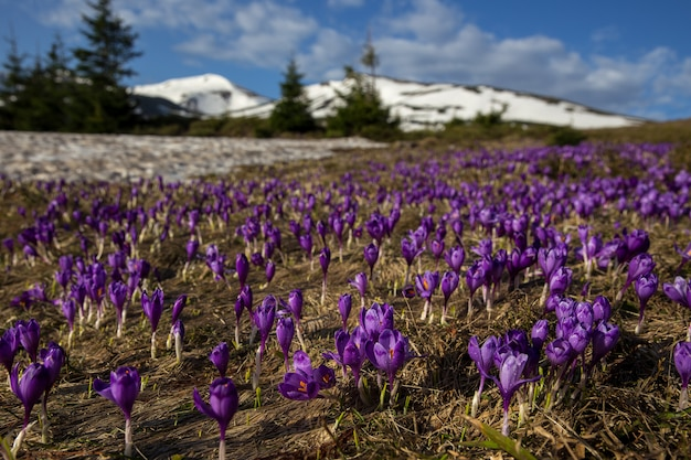 Uma vez que a mágica da neve cresça açafrões suaves de açafrão nos cárpatos ucranianos e na europa oriental. pastagens alpinas são cobertas de tapete mágico de sinos delicados com um belo aroma de flores silvestres