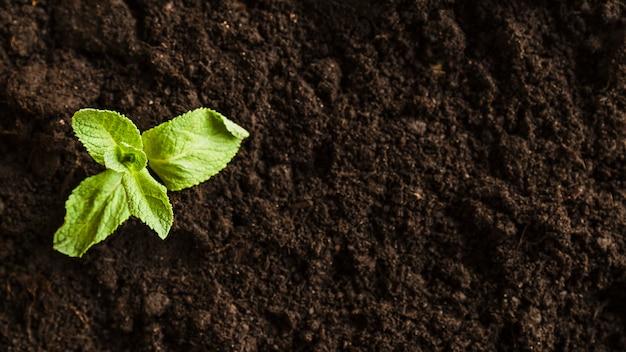 Uma visão aérea de uma muda de hortelã no solo