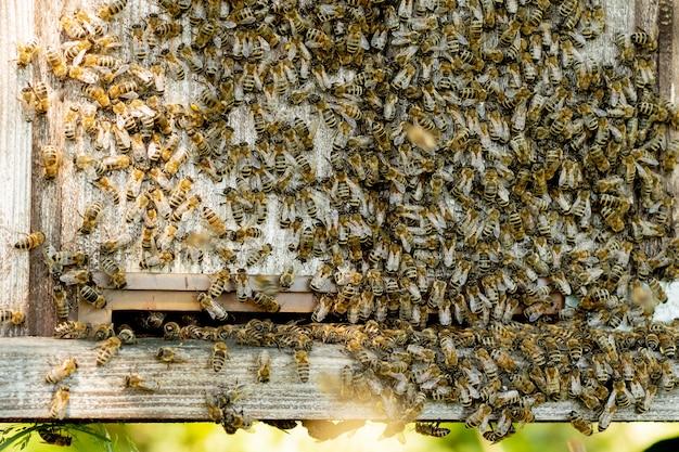 Uma visão de close-up das abelhas trabalhando trazendo pólen de flores para a colméia em suas patas. o mel é um produto da apicultura. o mel de abelha é coletado em belos favos de mel amarelos.