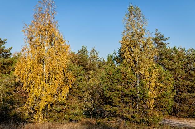 Uma visão de close-up de uma árvore de outono com muitas folhas amarelas em um dia de verão.