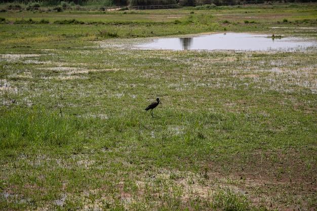 Uma vista com um lustroso ibis em delta del llobregat, el prat, espanha