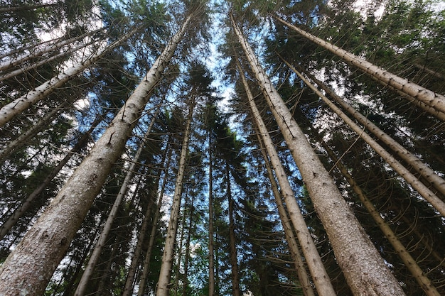 Uma vista da parte inferior das árvores em uma floresta