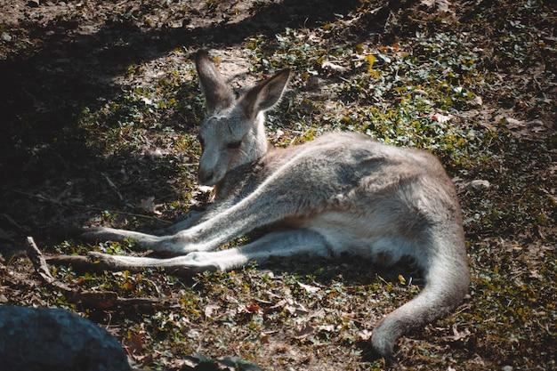 Uma vista fantástica sobre um adorável canguru