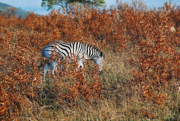 Uma zebra comendo