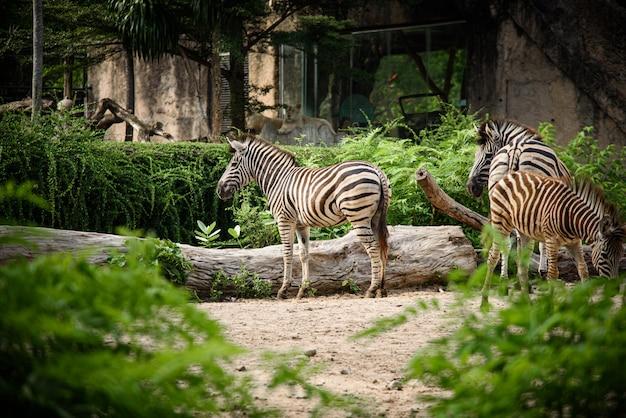 Uma zebra em uma gaiola, vida selvagem africana