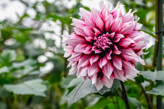 Única dália rosa colorida em um jardim na temporada de primavera