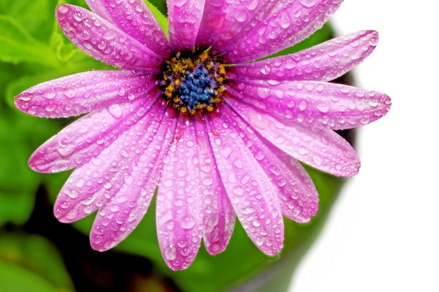 Única flor da gazânia com gotas. (gênero asteraceae de splendens) .isolado.