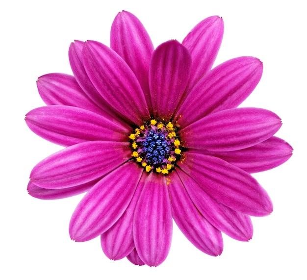 Única flor da gazânia. (gênero asteraceae de splendens) .isolado.