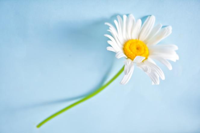 única flor de camomila no fundo azul. copie o espaço.