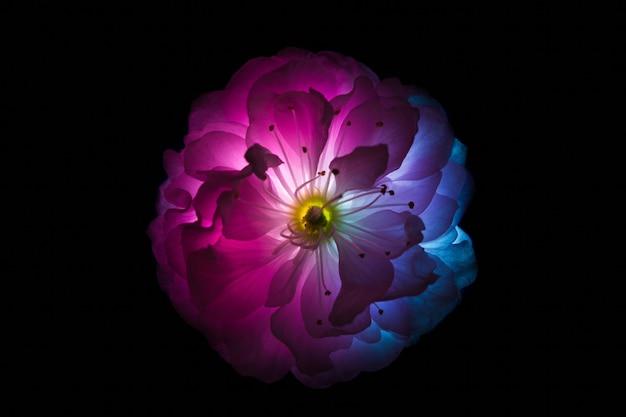 Única flor de cor azul e vermelha isolada no fundo preto. brilho da flor por dentro.